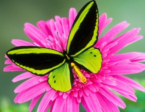 butterfly-pictures-1