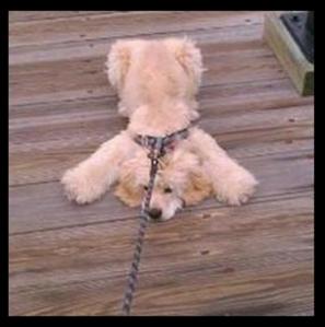 stubborn-dog